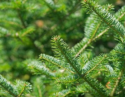 Landscaping Evergreen Trees Balsam Fir