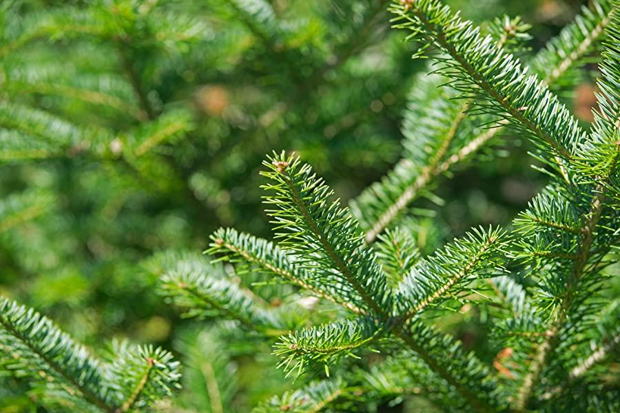 Landscaping Evergreen Trees Balsam Fir