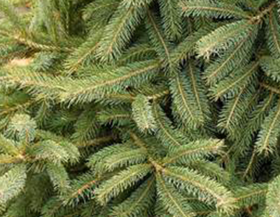 Landscaping Evergreen Trees Black Hills Spruce