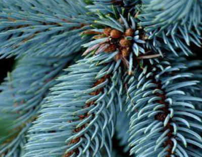 Landscaping Evergreen Trees Colorado Blue Spruce