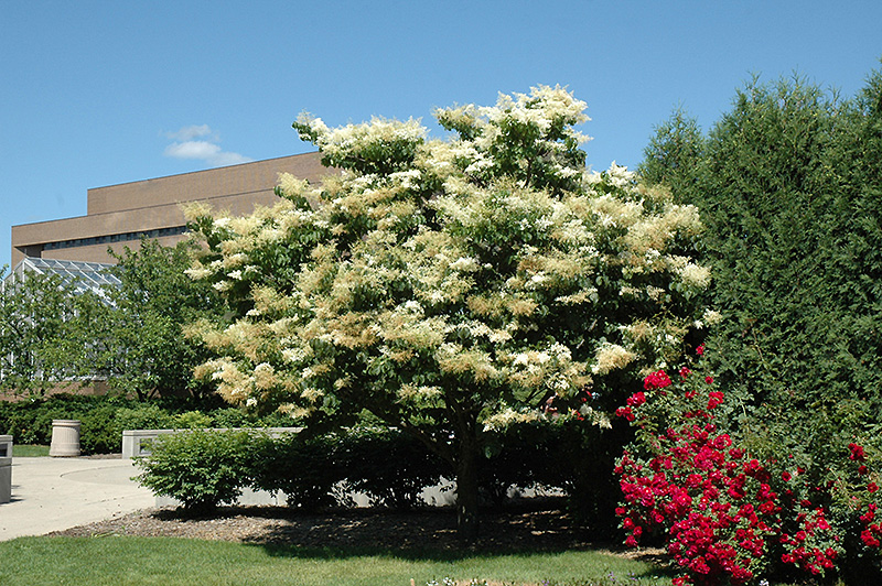 Japanese Lilac Yellow