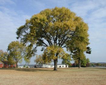 Princeton Elm
