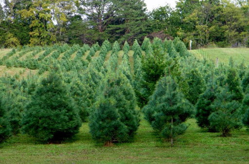 Landscaping Trees White Pine