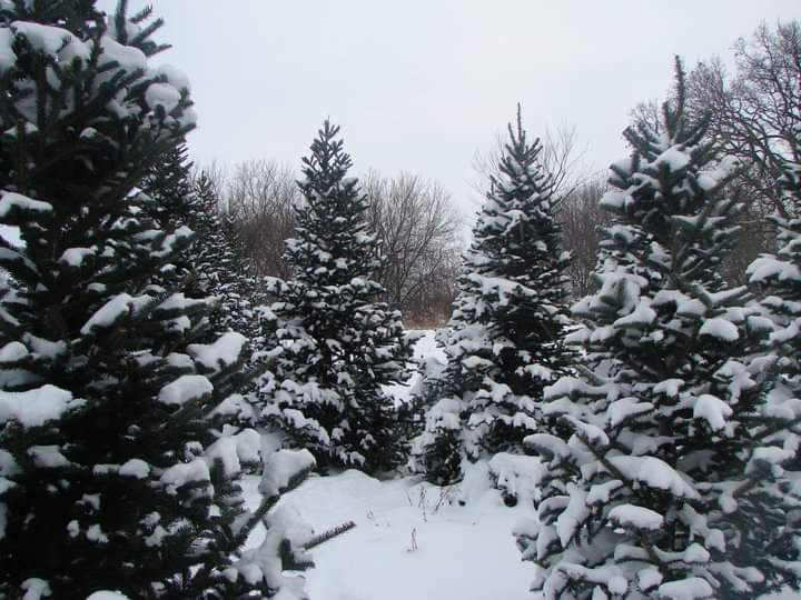 Christmas Trees Choose and Cut