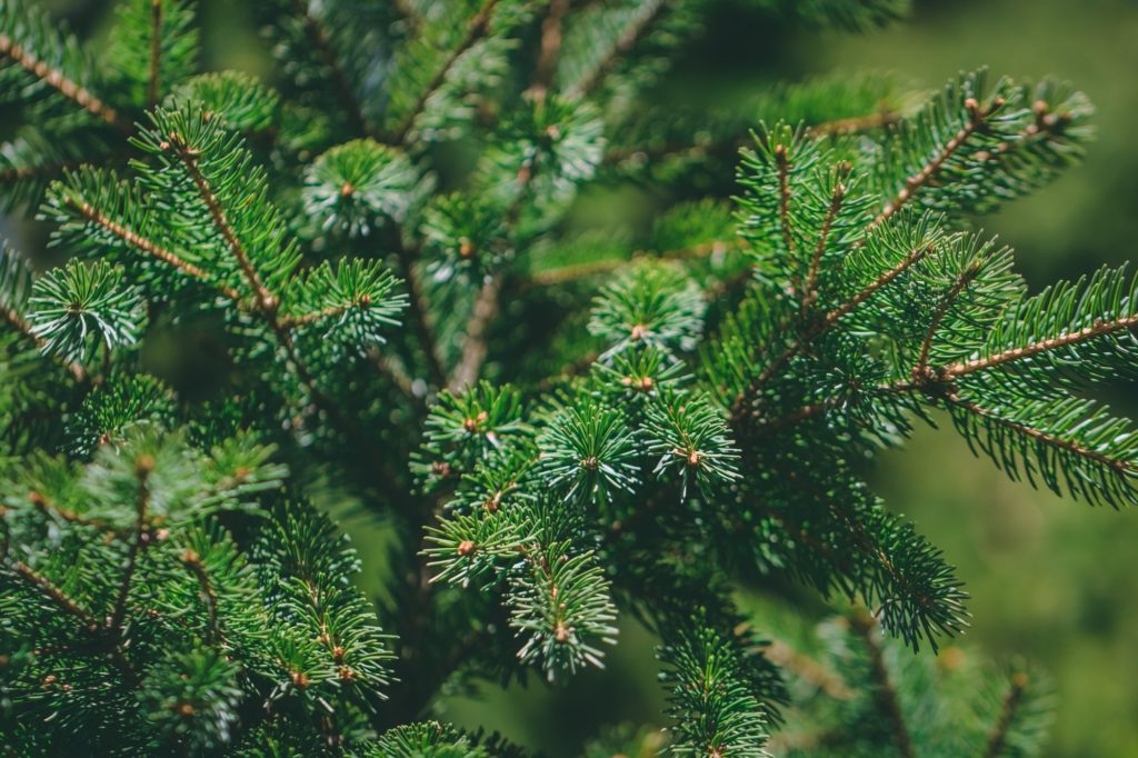 Macro shot of branches of spruce in a forest. Nature background.